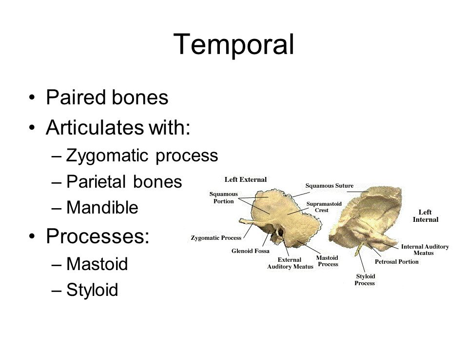 Temporal Paired bones Articulates with: Processes: Zygomatic process