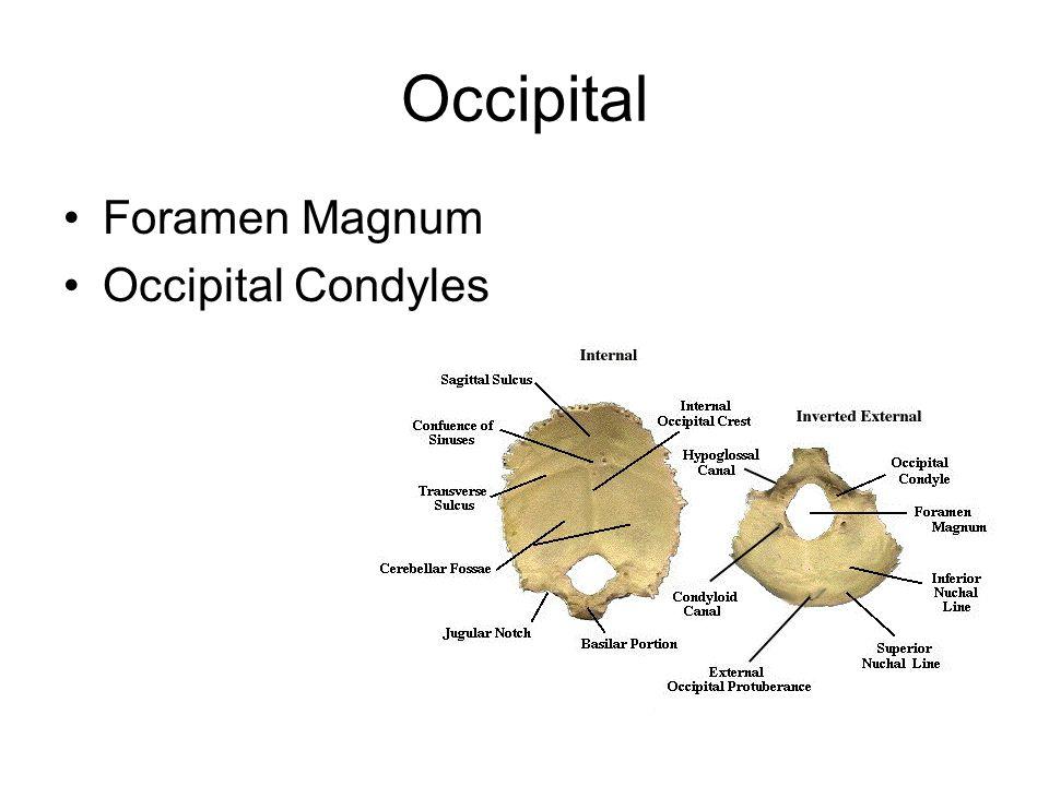Occipital Foramen Magnum Occipital Condyles