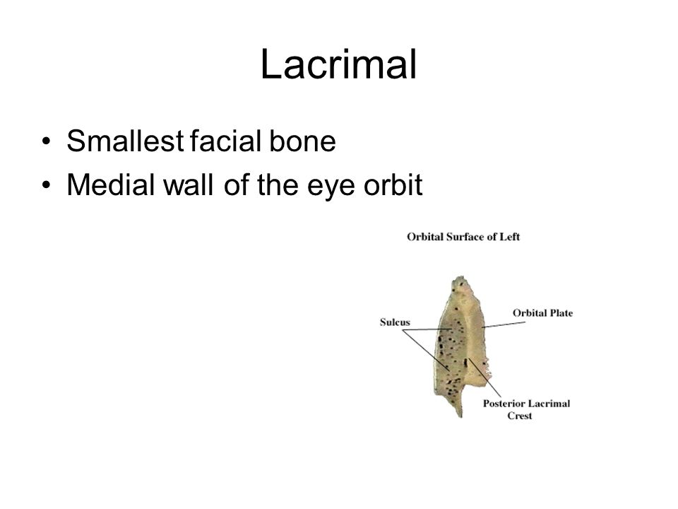 Lacrimal Smallest facial bone Medial wall of the eye orbit