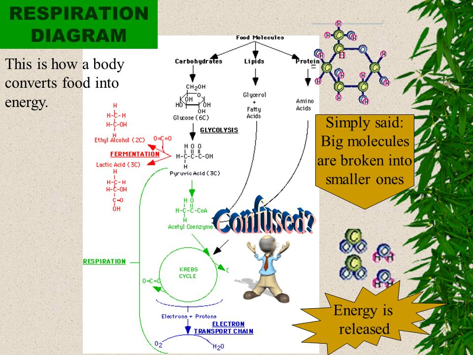 Confused RESPIRATION DIAGRAM This is how a body converts food into