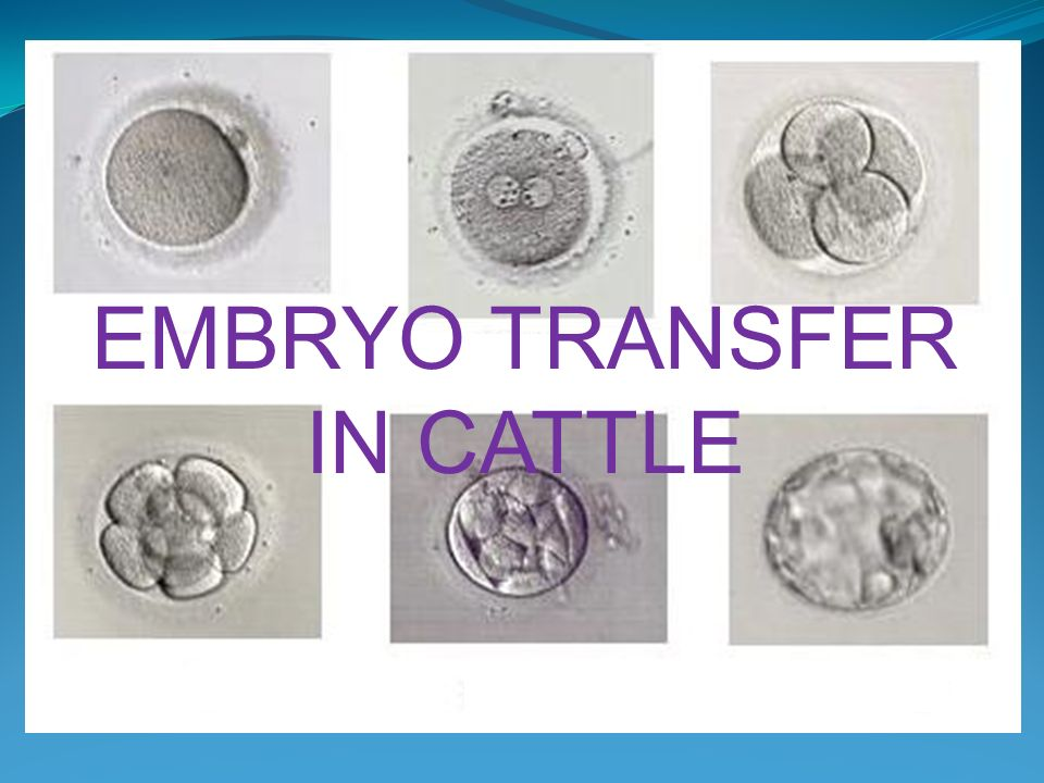 embryo transfer in cattle popular with