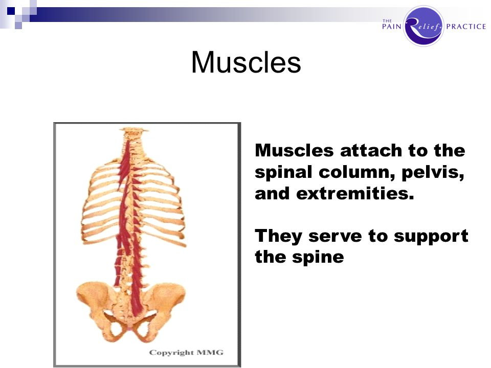 Muscles Muscles attach to the spinal column, pelvis, and extremities.