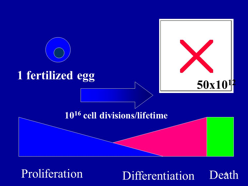1 fertilized egg 50x1012 Proliferation Death Differentiation