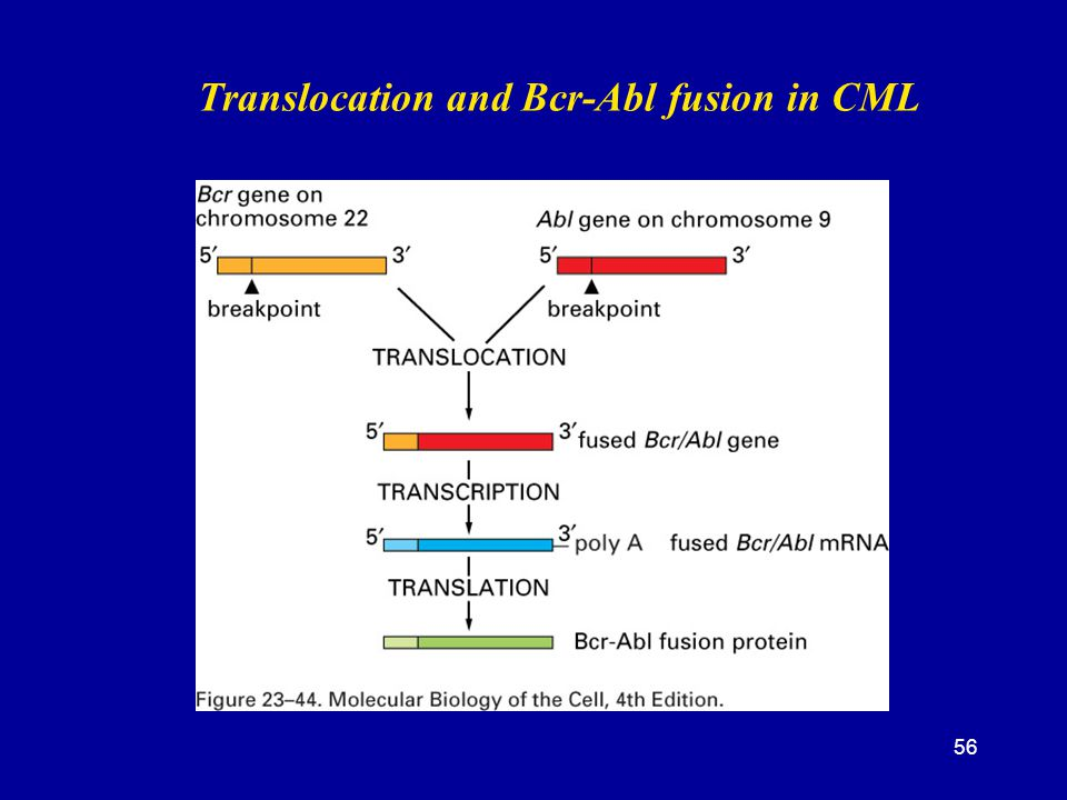 Translocation and Bcr-Abl fusion in CML