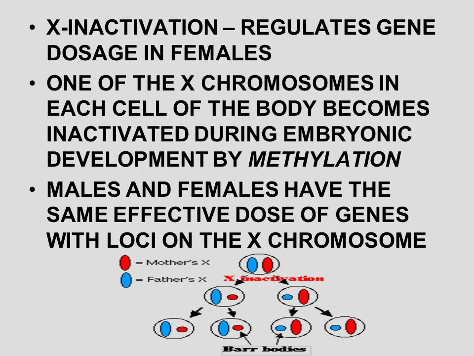 X-INACTIVATION – REGULATES GENE DOSAGE IN FEMALES