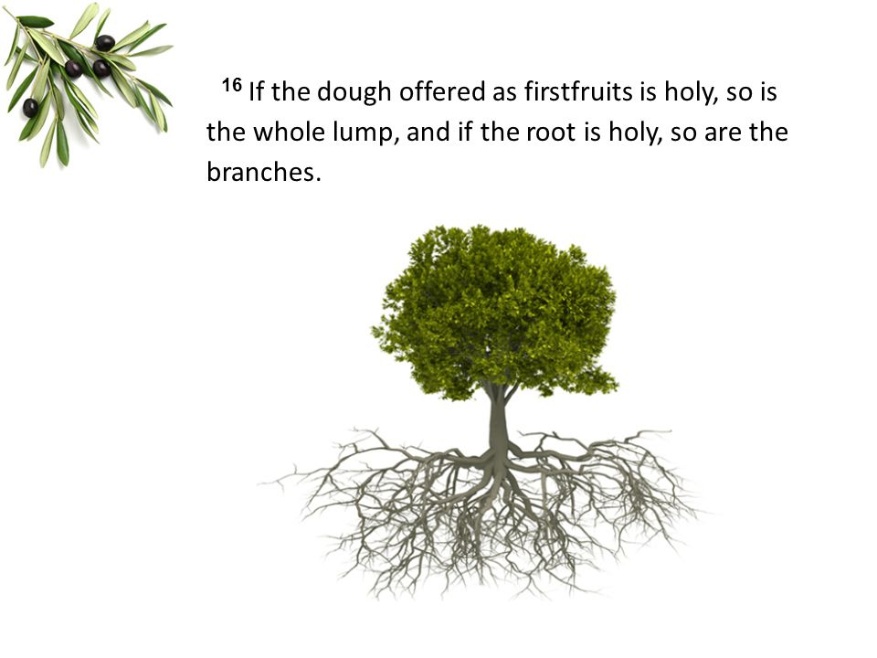 16 If the dough offered as firstfruits is holy, so is the whole lump, and if the root is holy, so are the branches.