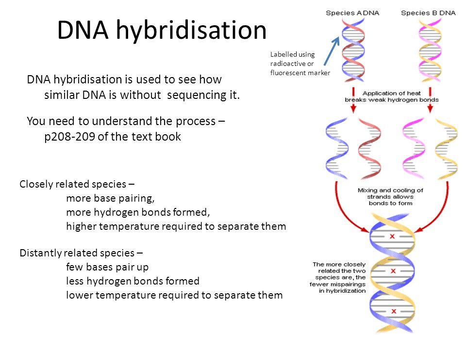 DNA hybridisation Labelled using radioactive or fluorescent marker.