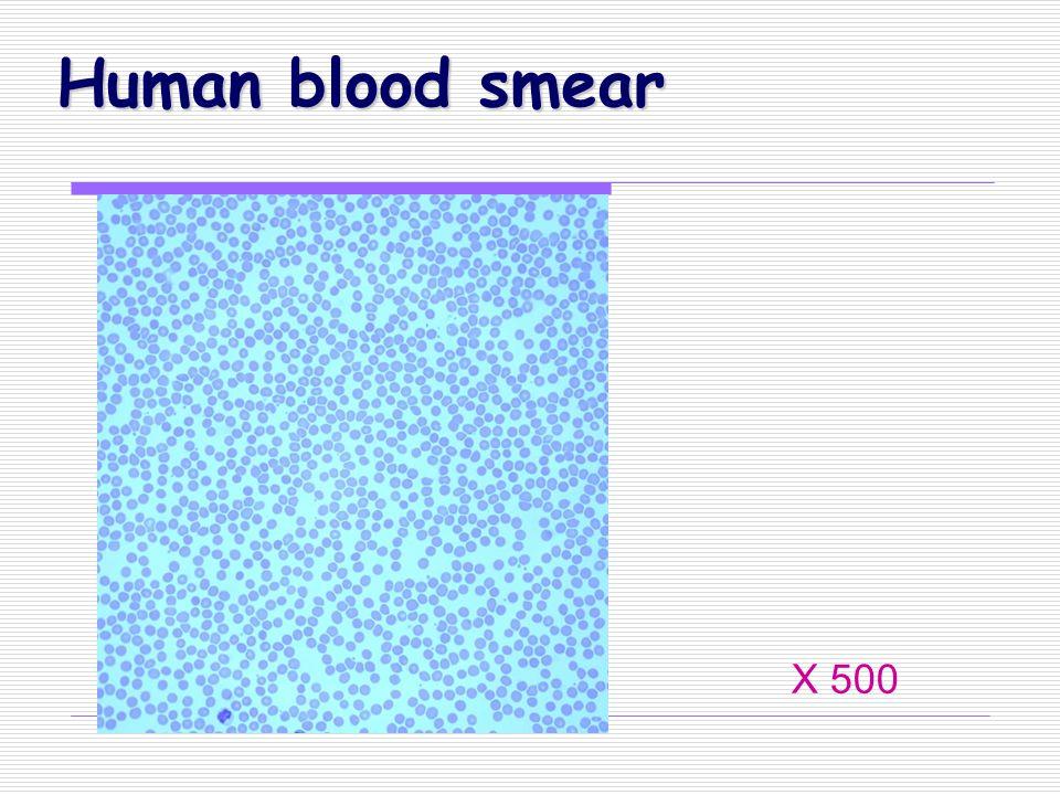 Human blood smear X 500