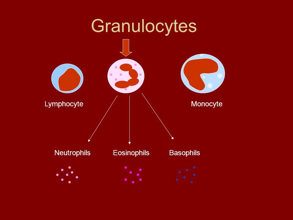 Granulocytes Lymphocyte Monocyte Neutrophils Eosinophils Basophils