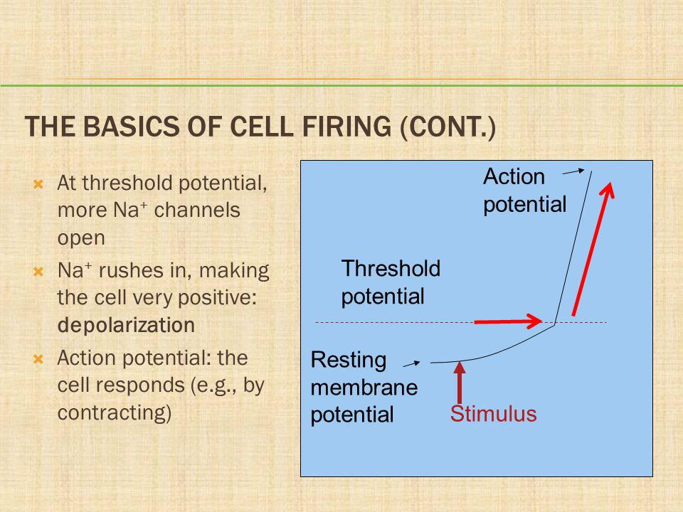 The Basics of Cell Firing (cont.)