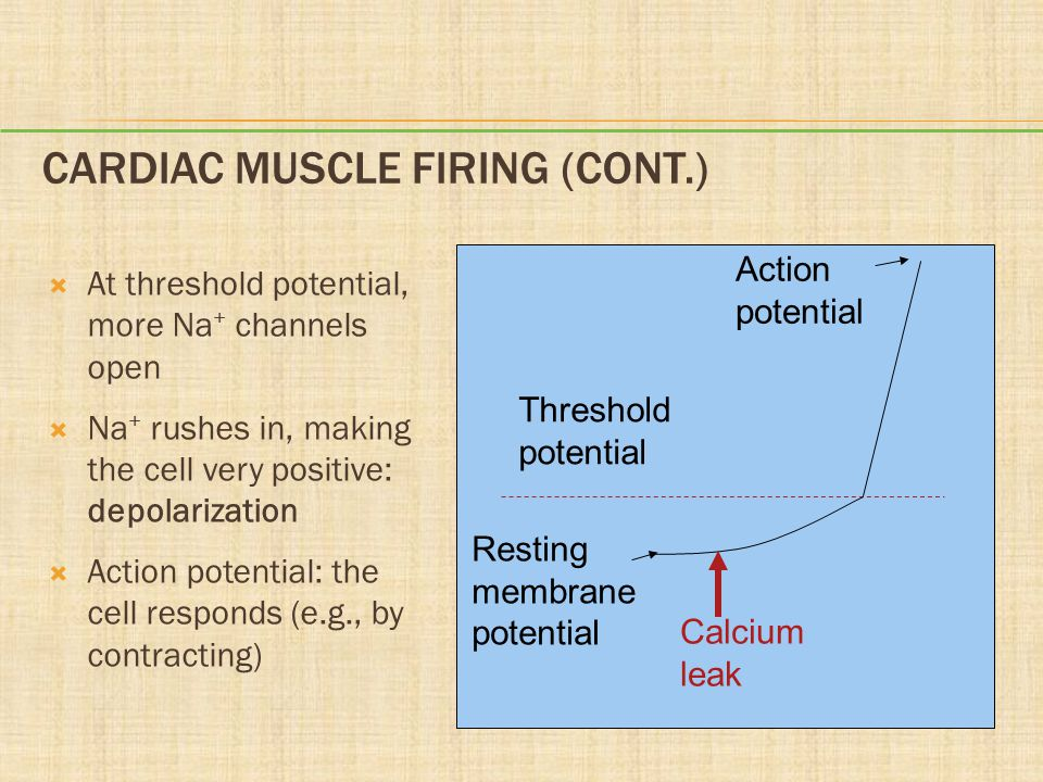 Cardiac Muscle Firing (cont.)
