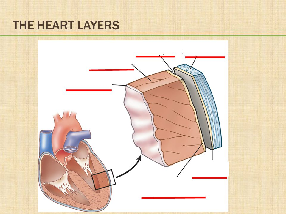 The Heart Layers