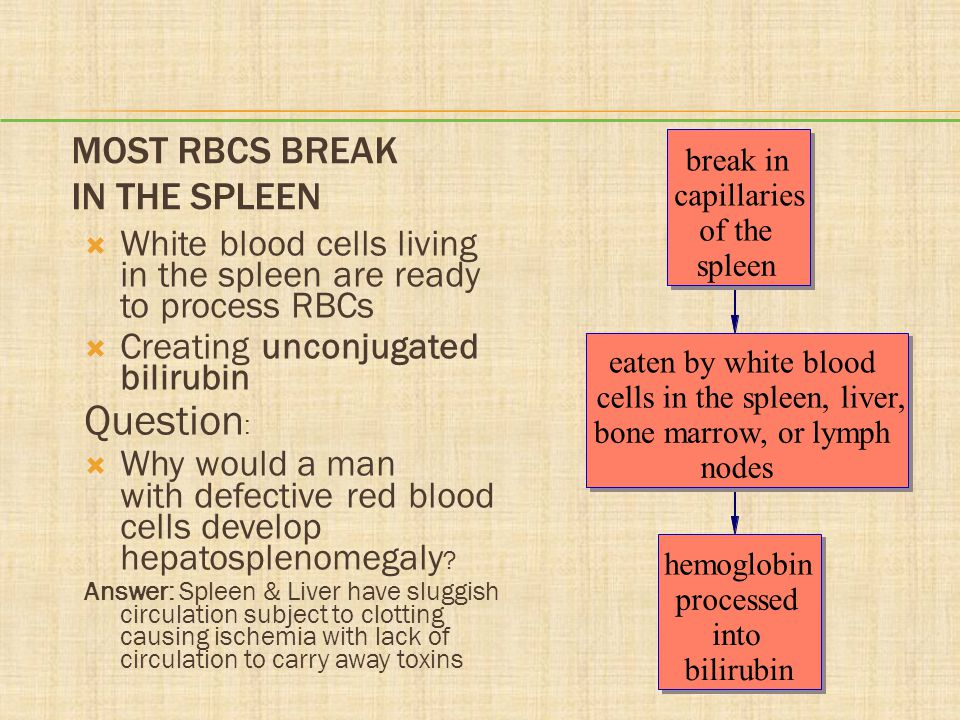 Most RBCs Break in the Spleen