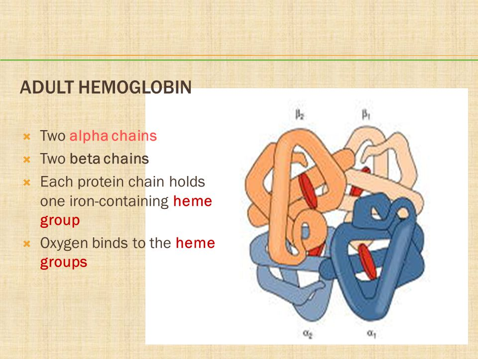 Adult Hemoglobin Two alpha chains Two beta chains