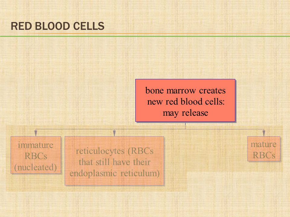 Red Blood Cells bone marrow creates new red blood cells: may release