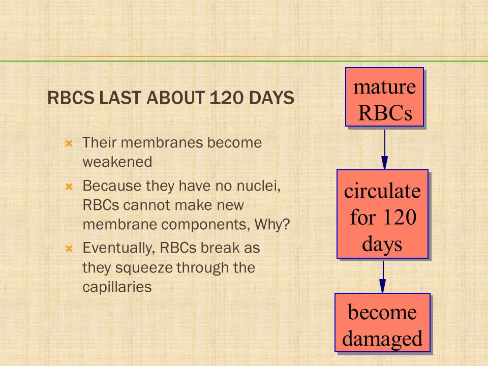 mature RBCs circulate for 120 days become damaged