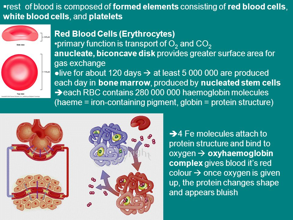 rest of blood is composed of formed elements consisting of red blood cells, white blood cells, and platelets