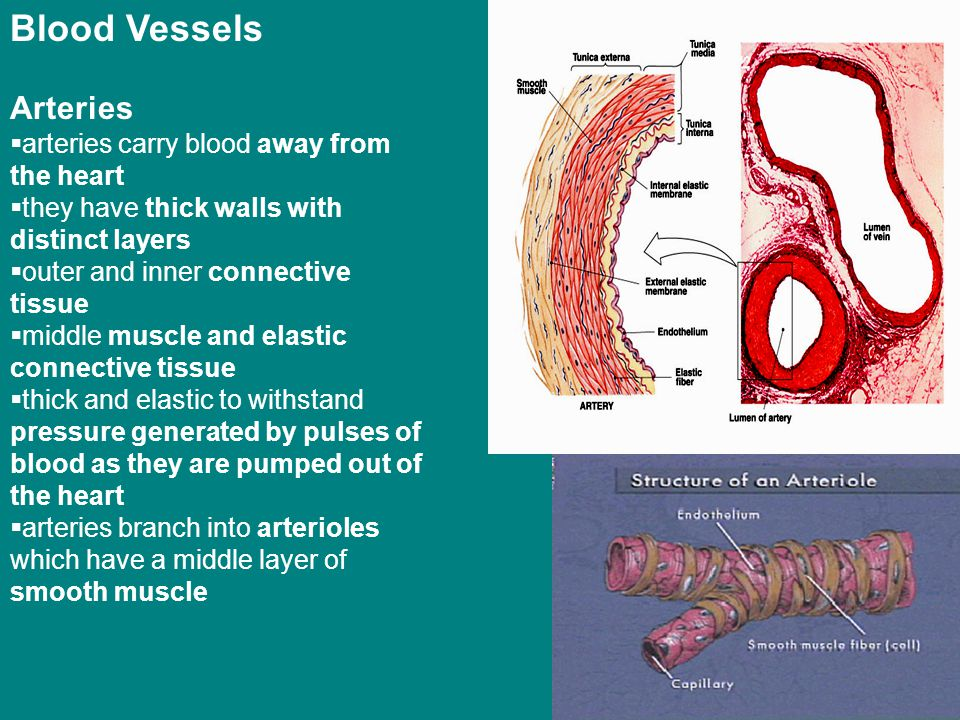 Blood Vessels Arteries arteries carry blood away from the heart