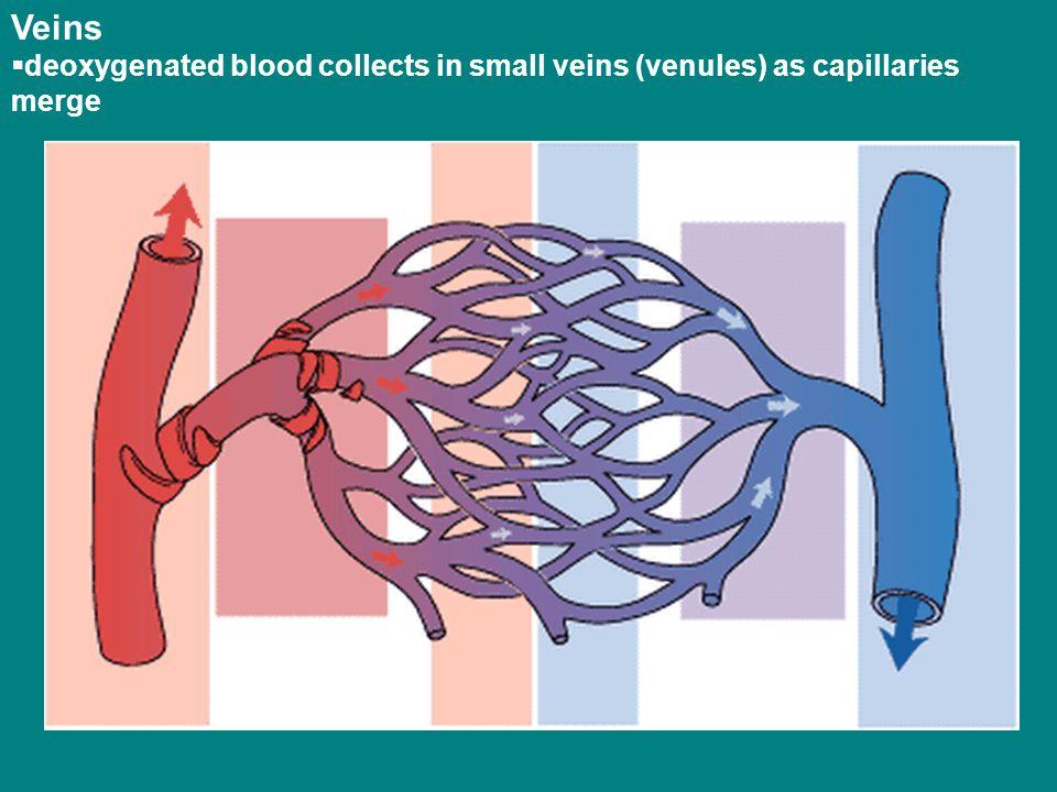 Veins deoxygenated blood collects in small veins (venules) as capillaries merge