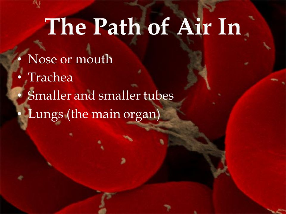 The Path of Air In Nose or mouth Trachea Smaller and smaller tubes