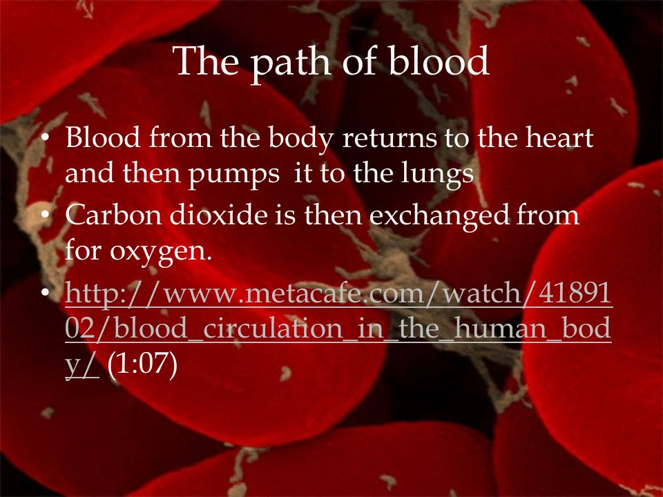 The path of blood Blood from the body returns to the heart and then pumps it to the lungs. Carbon dioxide is then exchanged from for oxygen.