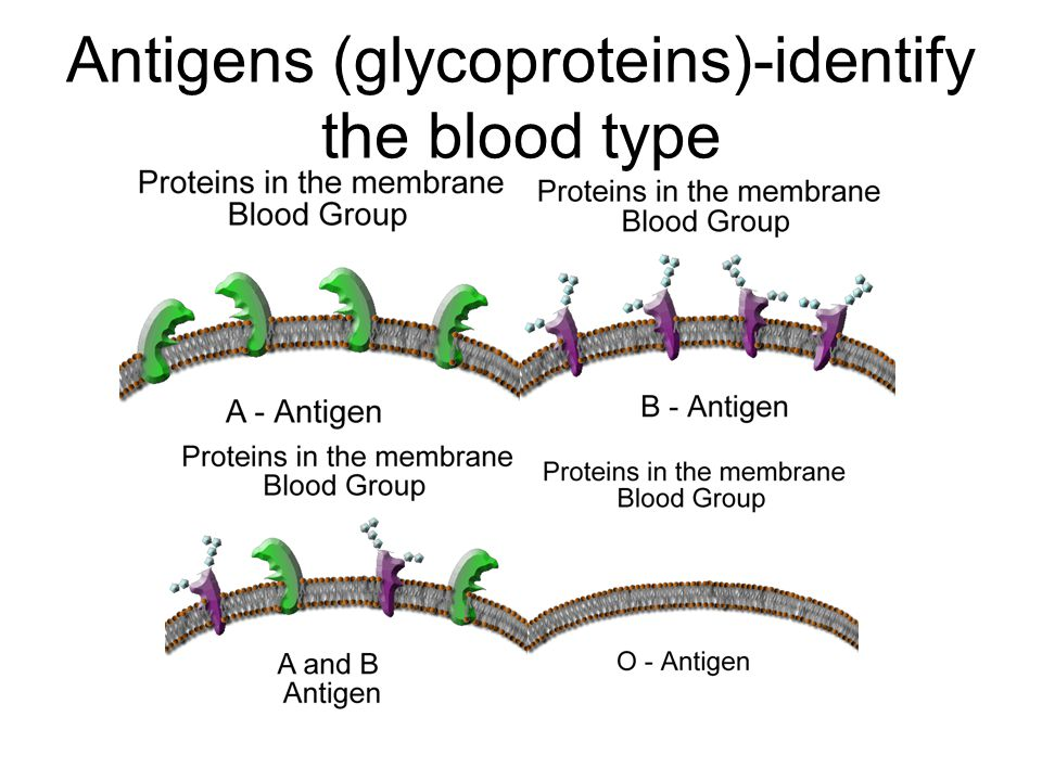 Antigens (glycoproteins)-identify the blood type