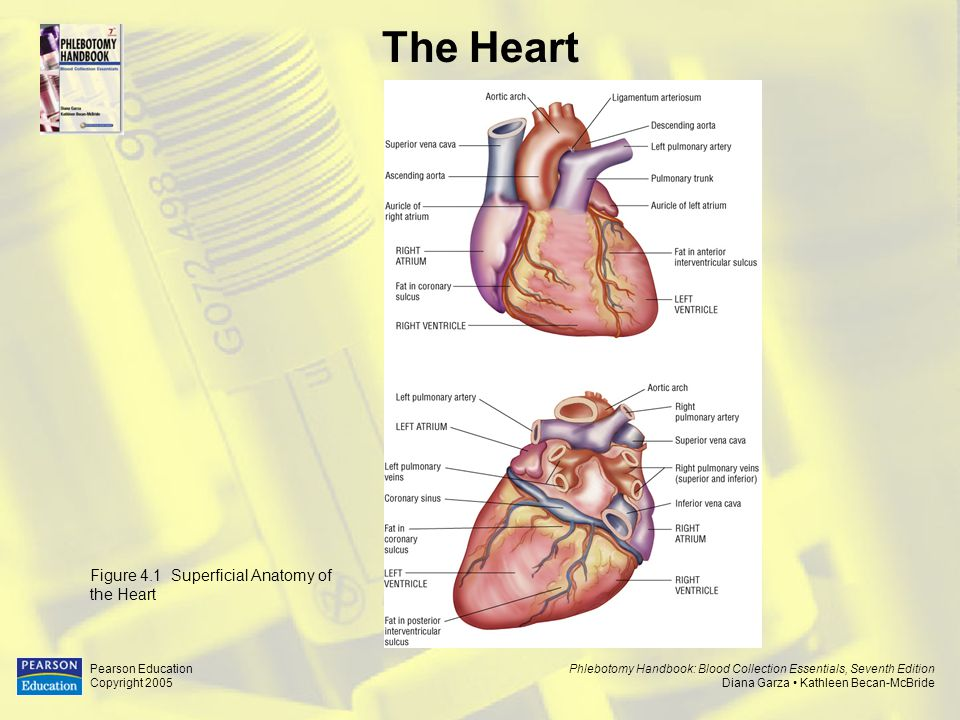 The Heart Figure 4.1 Superficial Anatomy of the Heart