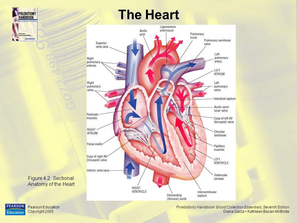The Heart Figure 4.2 Sectional Anatomy of the Heart Pearson Education