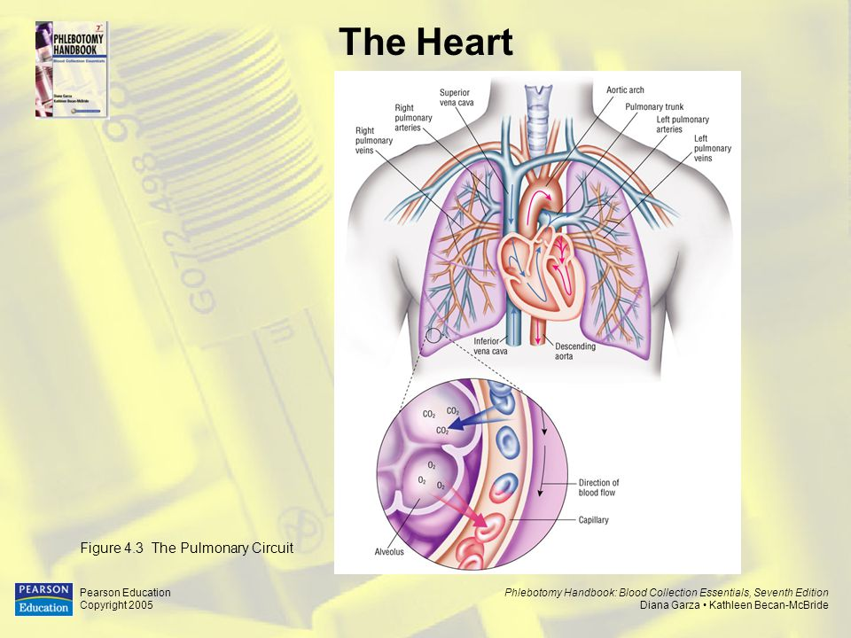 The Heart Figure 4.3 The Pulmonary Circuit Pearson Education