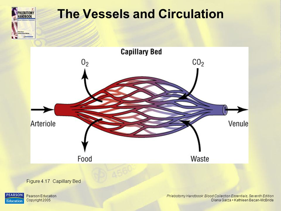 The Vessels and Circulation