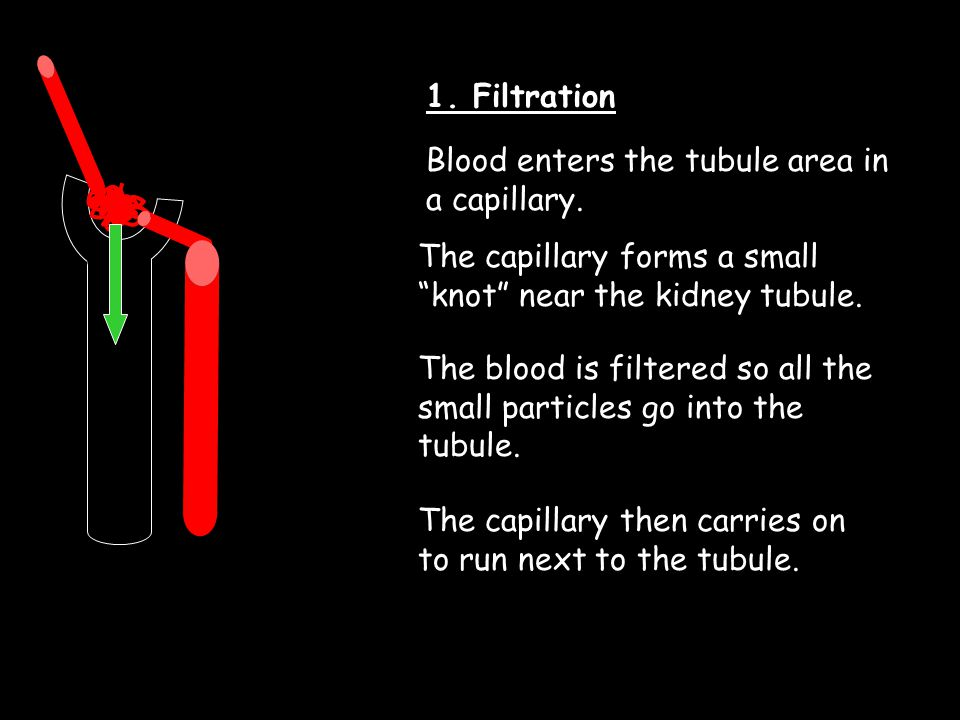 1. Filtration Blood enters the tubule area in a capillary. The capillary forms a small knot near the kidney tubule.