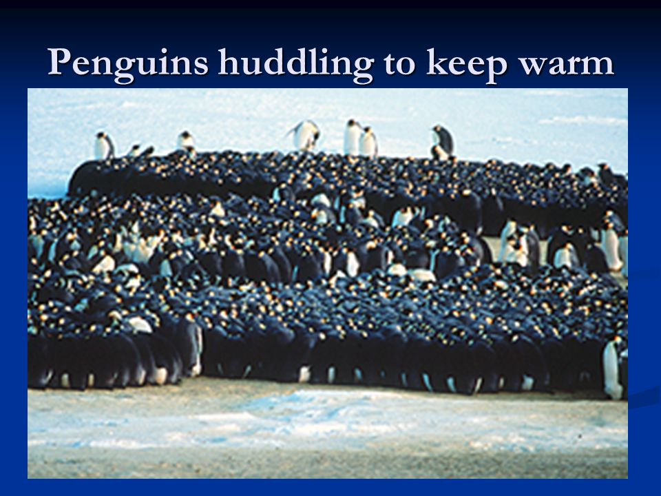 Penguins huddling to keep warm