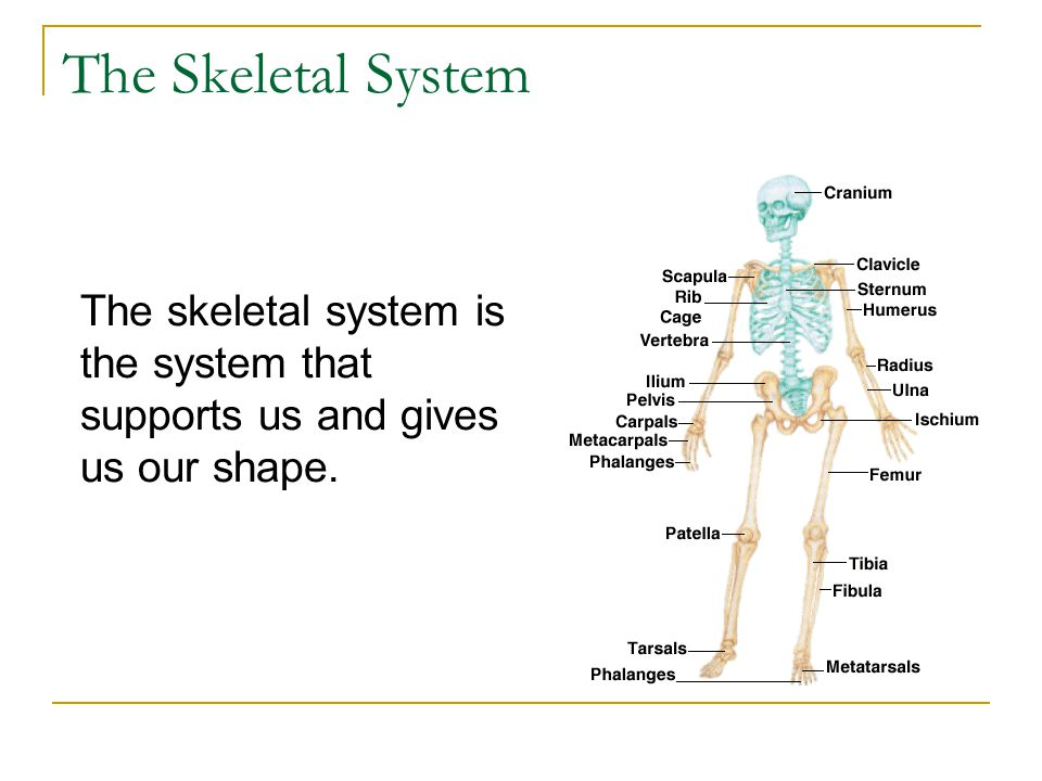 The Skeletal System The skeletal system is the system that supports us and gives us our shape.