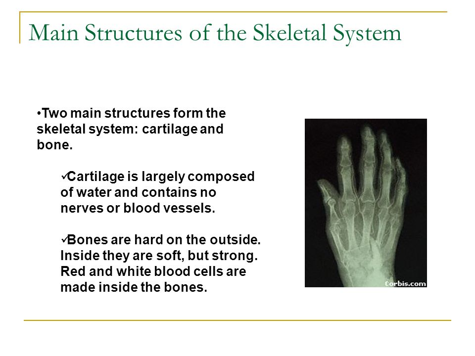 Main Structures of the Skeletal System
