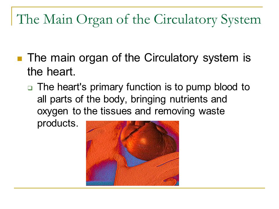 The Main Organ of the Circulatory System