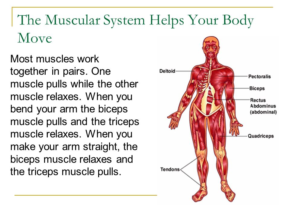 The Muscular System Helps Your Body Move