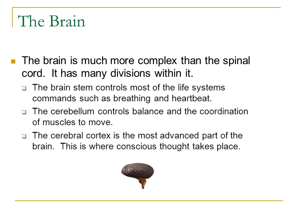 The Brain The brain is much more complex than the spinal cord. It has many divisions within it.