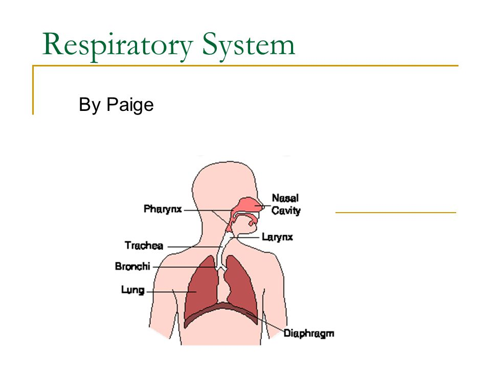 Respiratory System By Paige