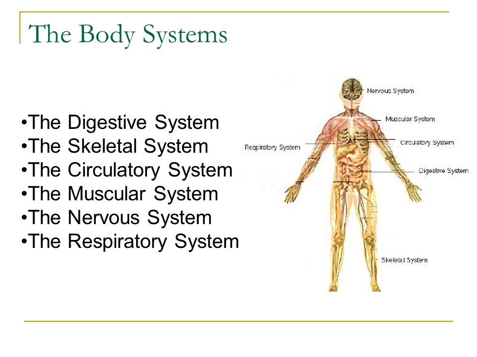 The Body Systems The Digestive System The Skeletal System