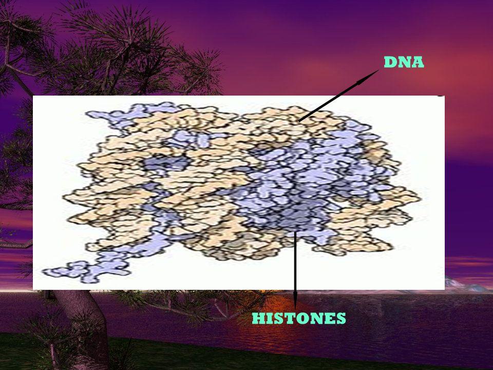 DNA HISTONES