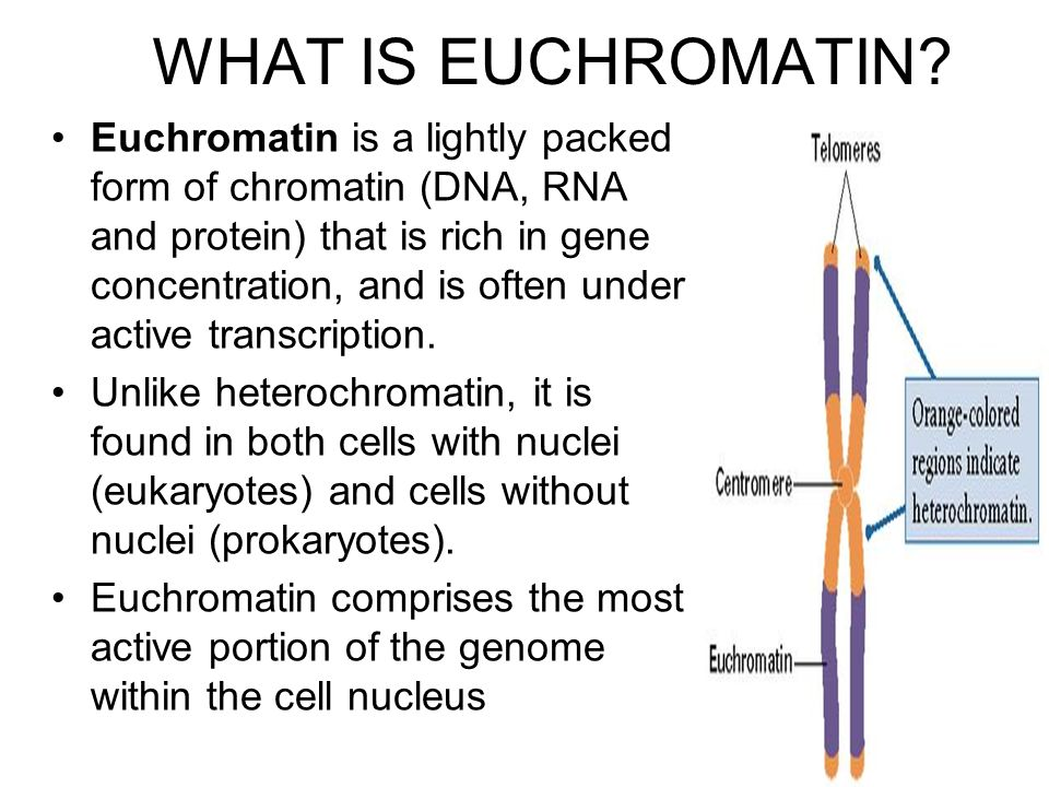 WHAT IS EUCHROMATIN