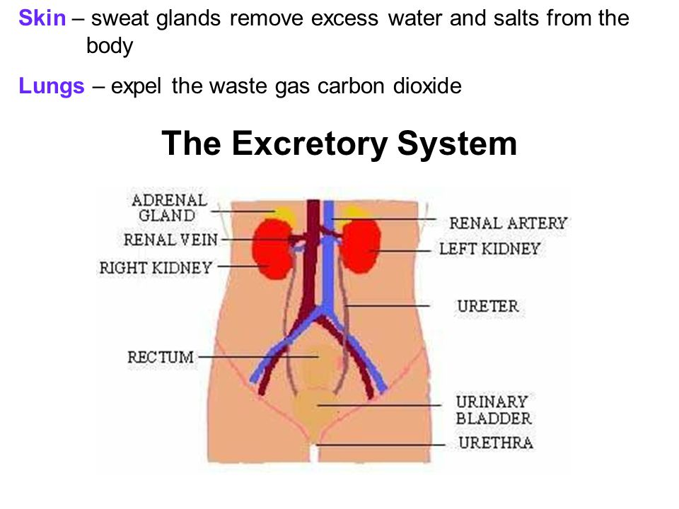 Skin – sweat glands remove excess water and salts from the body
