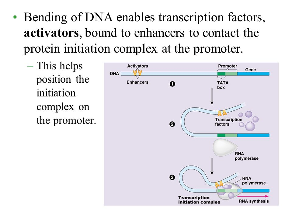 Bending of DNA enables transcription factors, activators, bound to enhancers to contact the protein initiation complex at the promoter.