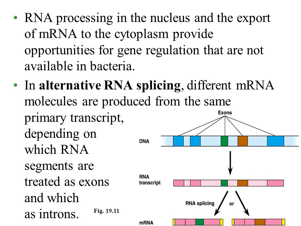 RNA processing in the nucleus and the export of mRNA to the cytoplasm provide opportunities for gene regulation that are not available in bacteria.