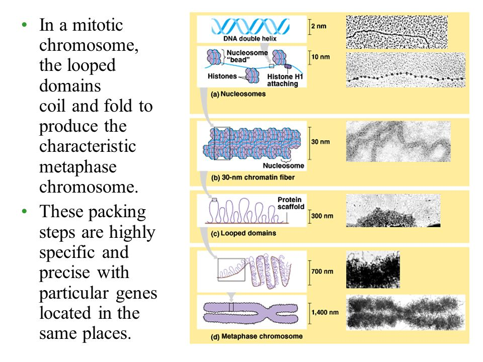 In a mitotic chromosome, the looped domains coil and fold to produce the characteristic metaphase chromosome.