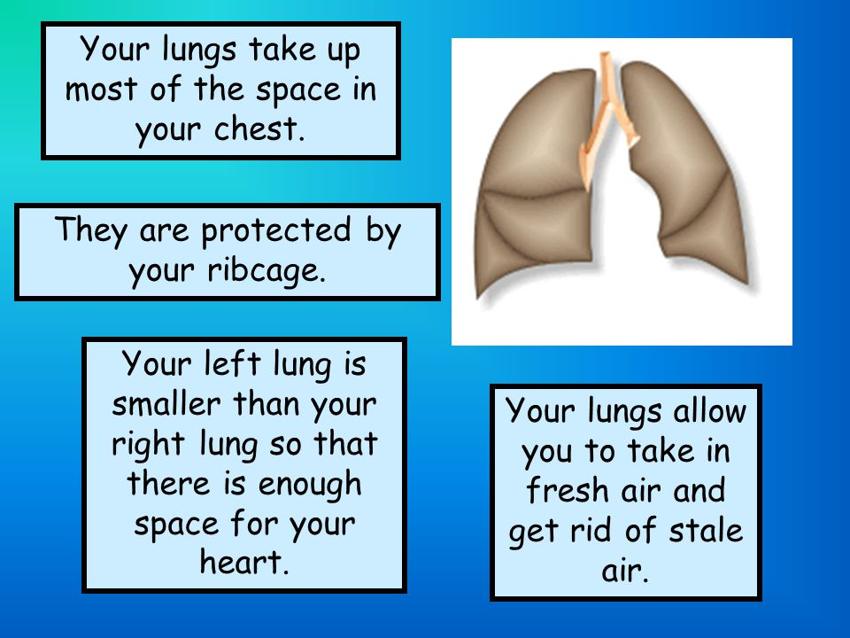 Your lungs take up most of the space in your chest.