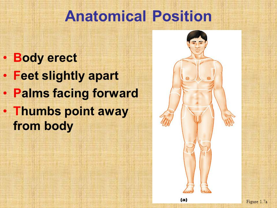 Anatomical Position Body erect Feet slightly apart
