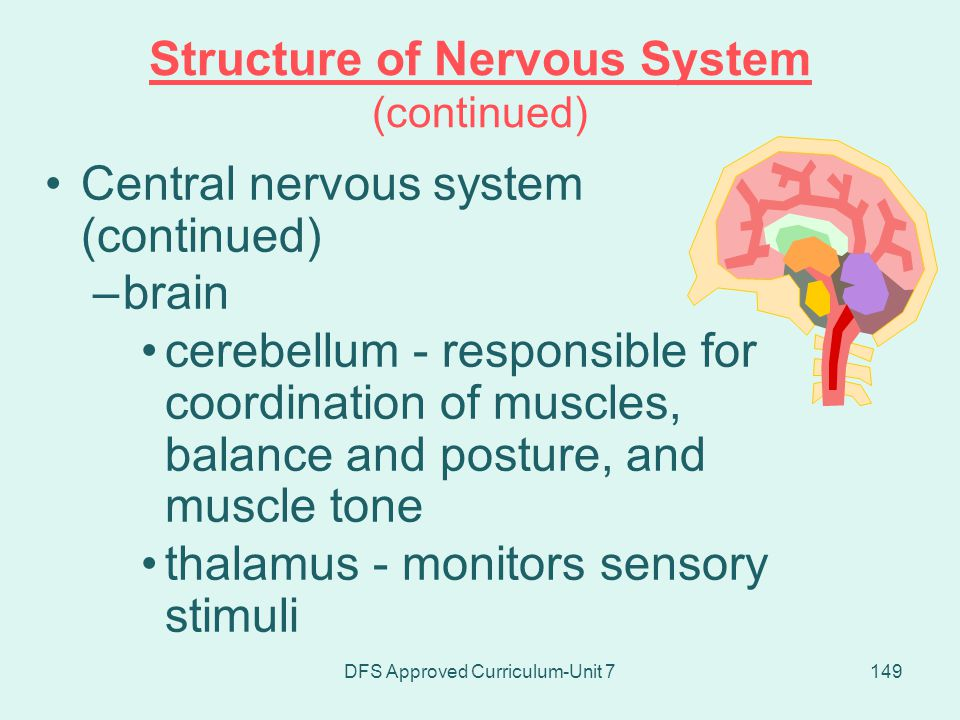 Structure of Nervous System (continued)