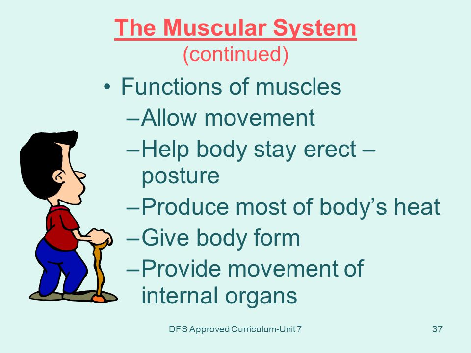 The Muscular System (continued)