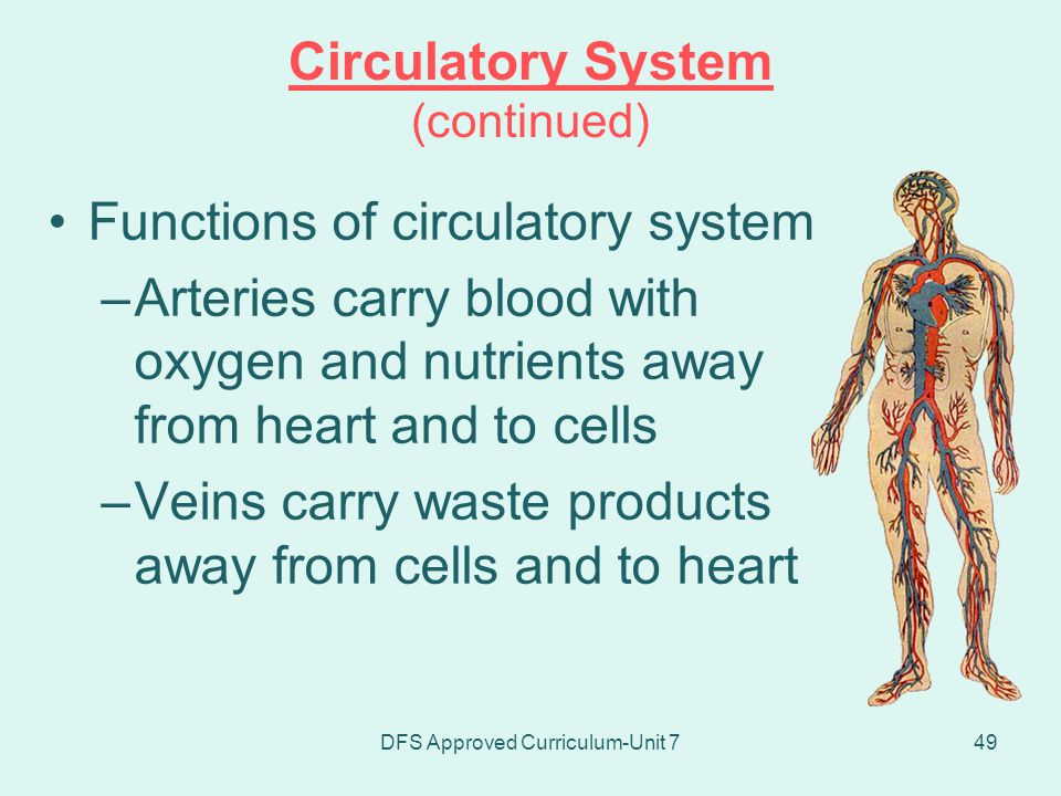 Circulatory System (continued)